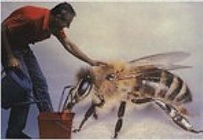 abejas demasiadas grandes
