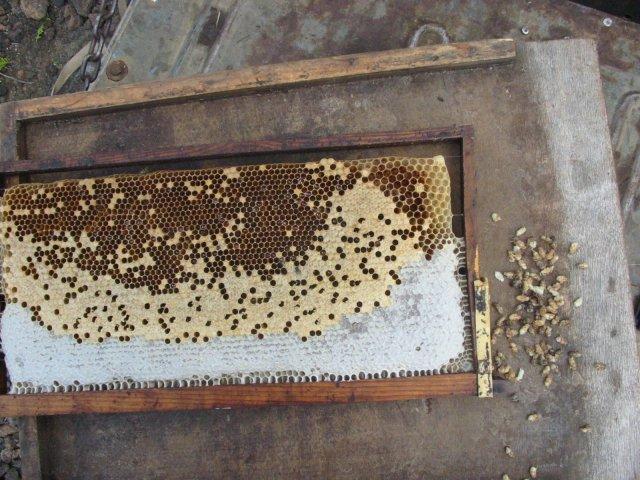 Varroen in Bienenbrut